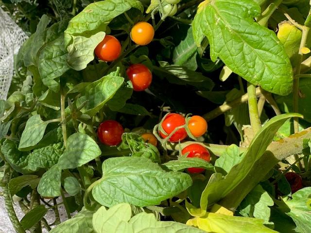 Children with tomato plants
